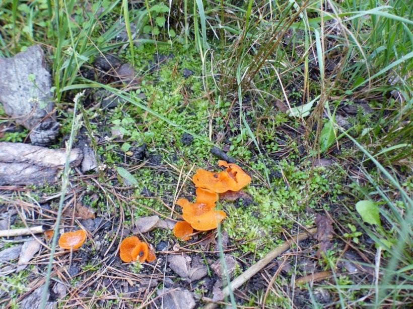 01 grote oranje bekerpaddenstoel